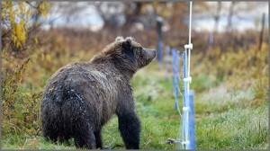שוק חשמלי לדובים